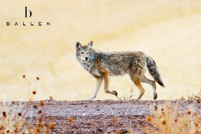Coyotes in Las Vegas