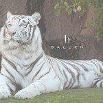 White Tiger Ballen