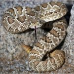 Mojave Rattle Snake