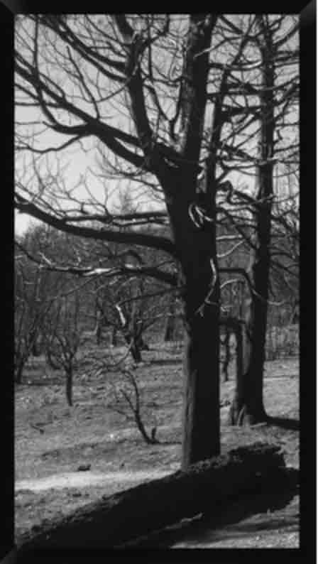 'Burned Trees' Framed Photographic Print on Canvas