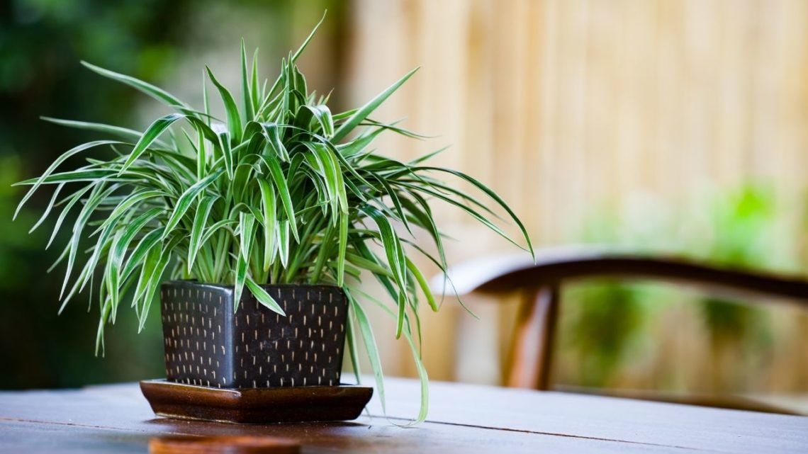 Spider plants tick all the boxes for household beautification and cleaner indoor air. These hardy indoor plants are both attractive and incredibly easy to care for.