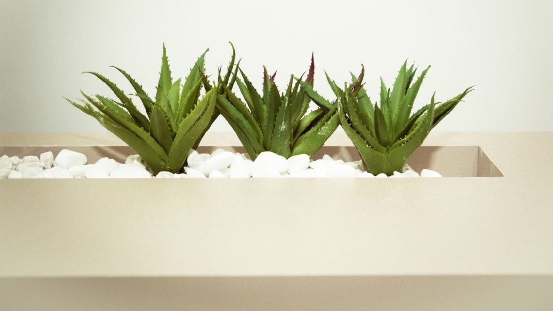 Want the perfect house plant for people who can't grow anything? Get succulents like aloe vera, and it's set and forget it time.