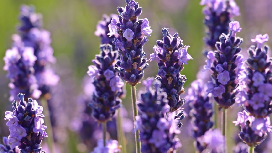 Aromatherapy that cleans the air; that's lavender. A natural insect repellent, lavender drives away fruit flies and gnats while soaking up carbon dioxide and formaldehyde in the atmosphere.