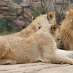 3 lions in a habitat