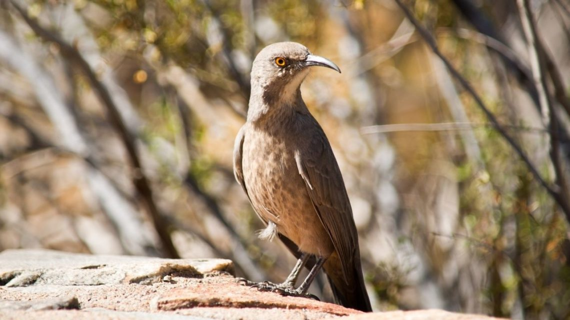 Crissal Thrasher: The Crissal Thrasher (Toxostoma longirostre) is one type of bird located throughout Las Vegas which may be hard to spot due to its small size making it harder for predators such as cats and dogs to find them compared to other types of birds that are visible from a distance.