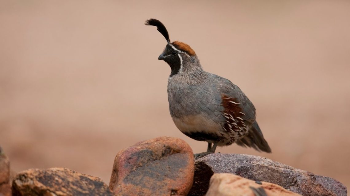 Gambels Quail: Often mistaken for a chicken, the Gambel's Quail (Callipepla gambelii) is one of the largest birds in Las Vegas and you can easily spot them on top of bushes with their brown, black, white coloring that keeps them camouflaged well when they are resting.