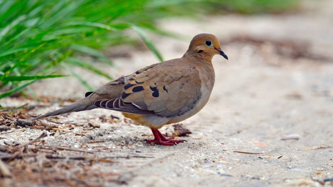 The Mourning Dove is a very common bird in Las Vegas year-round due to its adaptation toward living near humans even in large cities. It's easy to identify by its gray head with black streaks and darker wings with white tips forming bars across them.