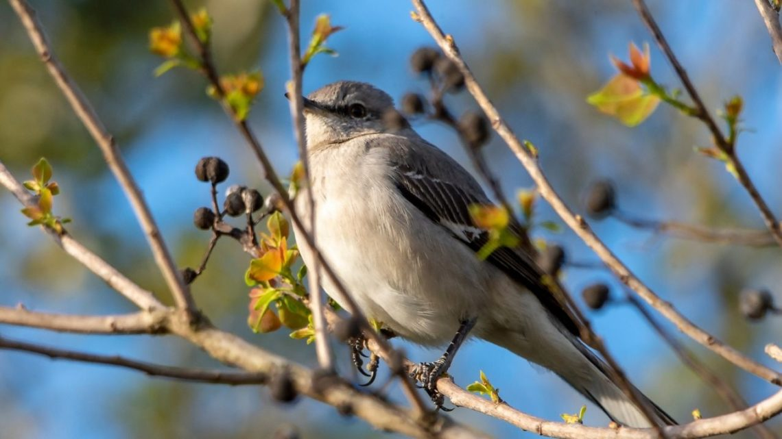 The Northern Mockingbird (Mimus polyglottos) is one of the more common birds in Vegas that you can find perched on a branch of a tree with its beady eyes and black feathers across the back of its head, eye area, and tail! Their wings are also brownish-black but they have white underneath which has striking colors making them easy to observe from a distance.