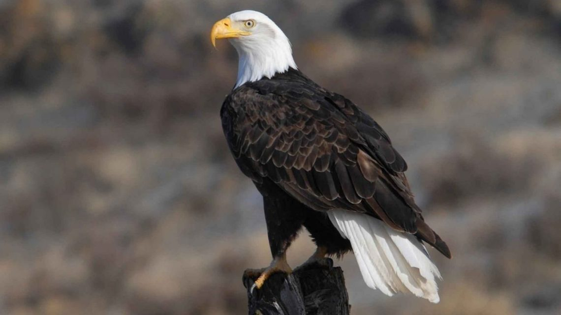 The Bald Eagle can be seen on Lake Mead or Boulder Basin Reservoir during the winter months. They feed mainly on fishes but will also hunt deer, rabbits, squirrels, and large birds such as swans if they are able to catch them before they take flight.