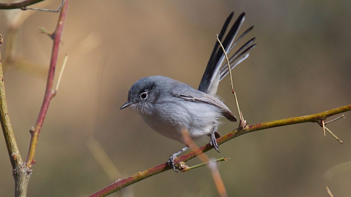 """Black-tailed Gnatcatcher: Black-tailed Gnatcatcher (Polioptila melanura) can be found in the desert where they make their homes within small trees or bushes because it helps them camouflage with the surrounding foliage. This bird has a long tail that is black on the end and brown along with white feathers making it stand out from other birds while its gray belly feathers make it easier to blend in when perched on a branch for protection from predators. You'll hear this bird chirping sounds similar to """"churr"""" while they are waiting to mate."""