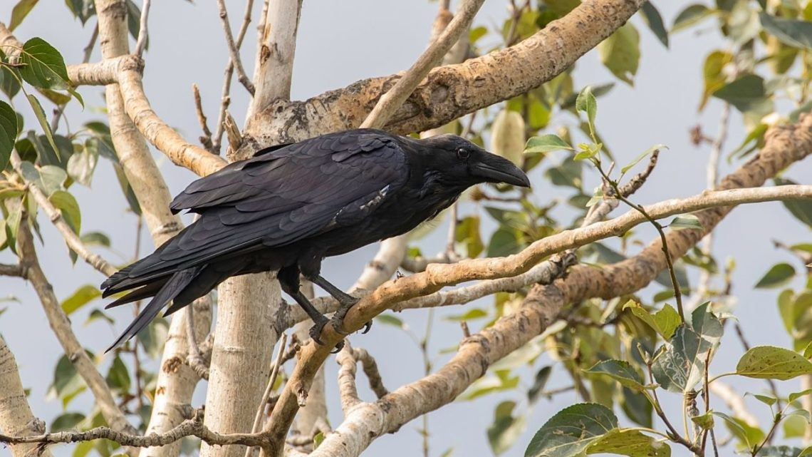 Common Raven: The Common Raven (Corvus corax) may be found in areas such as hillsides, canyons, and cliffs which are excellent places to find insects or small animals like lizards. They have large bills that are used to catch their prey so if you hear a chewing noise this may be the Common Raven searching for food sources!