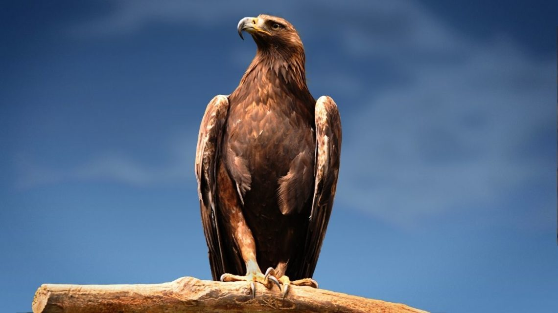 The Golden Eagle can be seen in Las Vegas around cliffs that face east and west where there are rocky shelves below them to provide a nest for eagles. These birds usually build their nests on inaccessible ledges or crags.