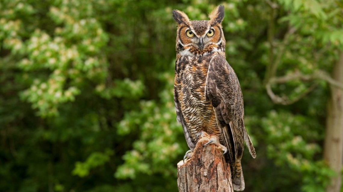 Great Horned Owls can be found in Vegas year-round depending on the weather. They are usually the first to hunt near dusk and dawn looking for rodents or large insects such as grasshoppers, beetles, and katydids that live in fields or forests during the summer months.