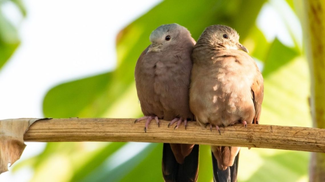 The Ground Dove can be identified by its grayish-brown upper parts with black streaks and white belly and throat. It has dirty red patches on the wings and tail feathers which fade into yellowish color during summertime making it hard to tell apart from the Mourning Dove.