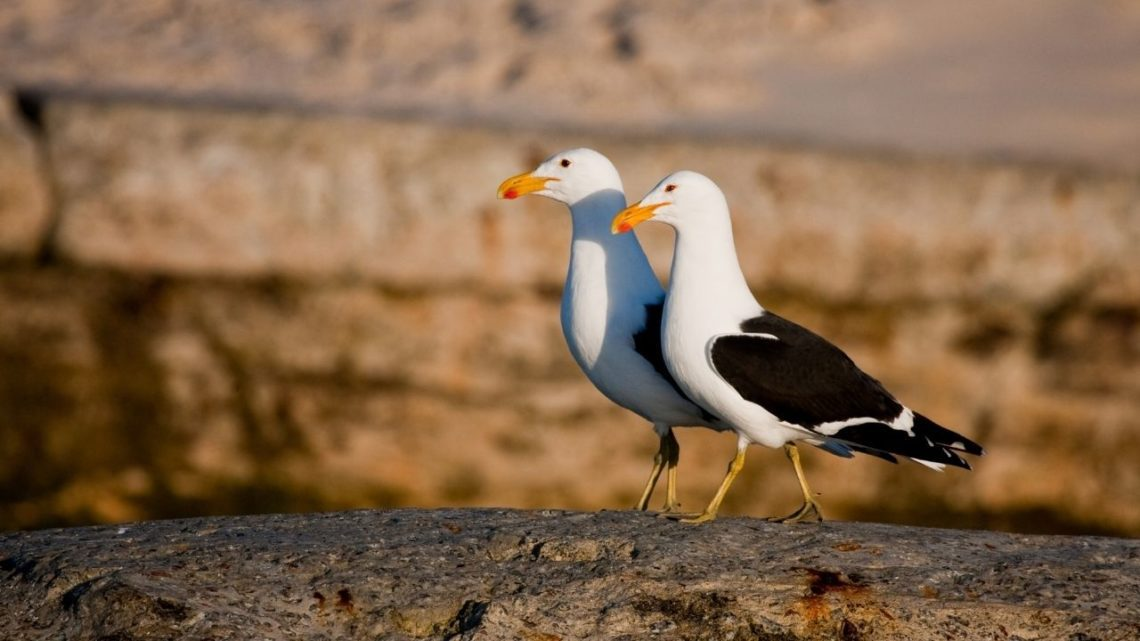 Kelp Gull: For a bird that looks like a seagull you can spot the Kelp Gull (Larus dominicanus) in Las Vegas especially near bodies of water such as ponds, lakes, or rivers where they will dive into the water looking for fish or aquatic insects like crickets!