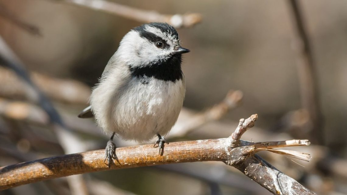 Mountain Chickadee: You may spot the Mountain Chickadee (Parus gambeli) in areas with plenty of bushy trees to protect themselves from predators. This bird has a gray back and chest along with white cheeks that make them look more plump compared to other birds which are helpful during mating.
