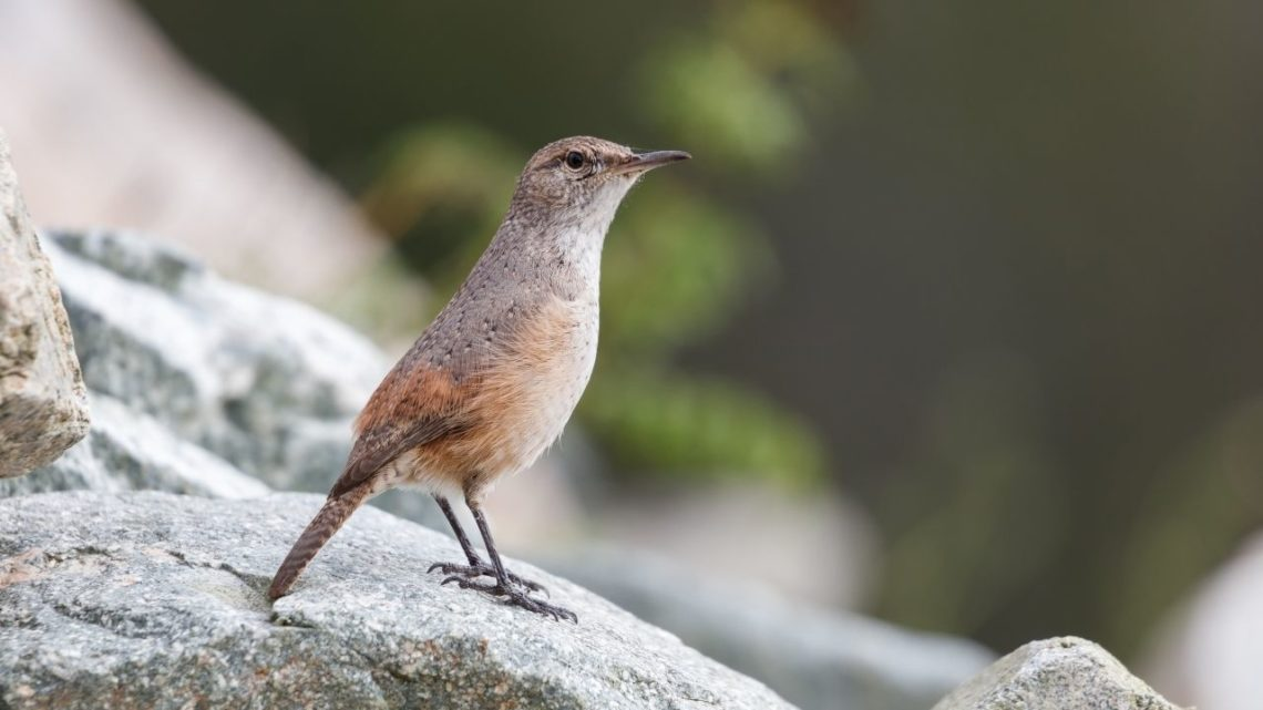 Rock Wren:  The Rock Wren (Salpinctes obsoletus) resembles a sparrow since it has small wings and a very long beak that helps pluck up insects on the ground like ants