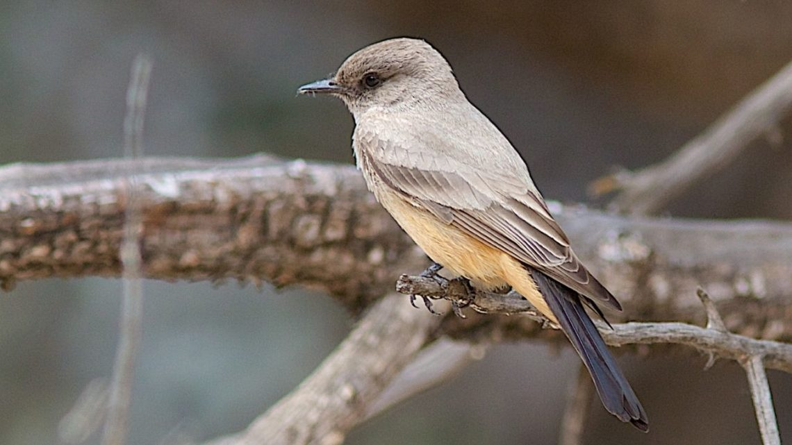 Say's Phoebe:  The Say's Phoebe (Sayornis saya) is a type of bird that may resemble a wren but is actually its own type. You can spot them in urban areas or near bodies of water such as lakes, rivers, or ponds where their main diet consists of insects!